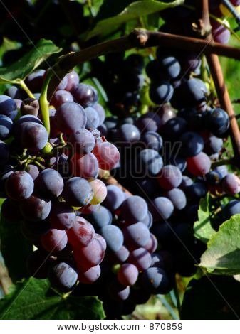Black grapes