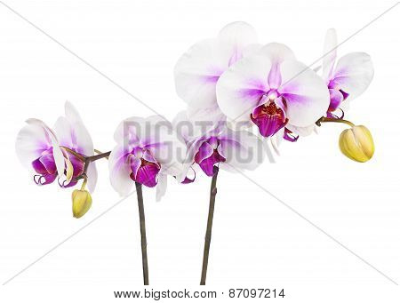 Blooming Twig Of White Purple Orchid Isolated On White Background.