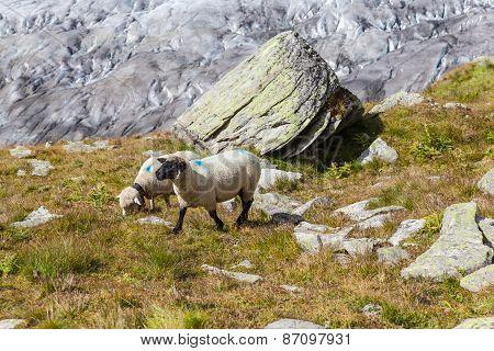Sheeps In Alps Above The Aletsch Glacier