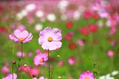 image of cosmos  - Pink cosmos flower in cosmos field among other shade of darker pink - JPG