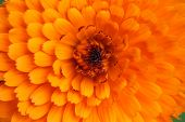 pic of mums  - close up orange florist mum to see center of the flower and the shape of petal - JPG