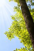 stock photo of ash-tree  - Sun and sunrays on ash tree  - JPG
