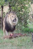 stock photo of killing  - Male Lion Stands Over Its Fresh Kill
