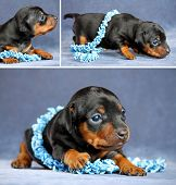 foto of miniature pinscher  - The Miniature Pinscher puppy 3 weeks old - JPG