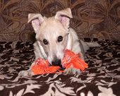 image of nibbling  - Red puppy nibbles orange toy on colorful couch - JPG