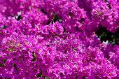 foto of angiosperms  - Beautiful purple bougainvilleas in a Mediterranean climate - JPG