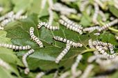 picture of worm  - Silk worm eating mulberry green leaf from Thailand - JPG