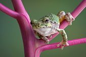 foto of pokeweed  - A baby grey tree frog is leaning forward while sitting on a pokeweed plant - JPG