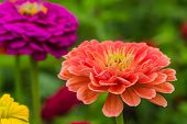 stock photo of zinnias  - Colorful zinnias growing in the garden - JPG