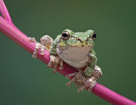 foto of pokeweed  - A baby grey tree frog is perched on a branch of pokeweed - JPG