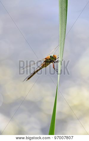Dragonfly Close Up Sitting On The Grass Above The Water