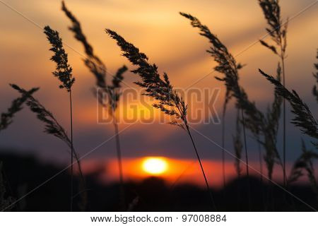 Wild Flowers - Perennial Grass Against A Red Sunset
