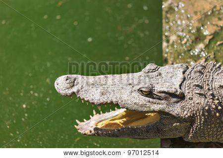 Crocodile Head With Open Jaws Closeup