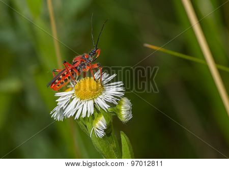 Specimen of Assassin bug sitting on a flower