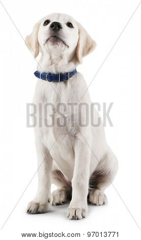 Cute Labrador dog on grey background