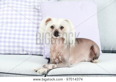 Chinese Crested dog resting on sofa, indoors