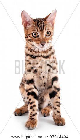 Beautiful Bengal kitten isolated on white