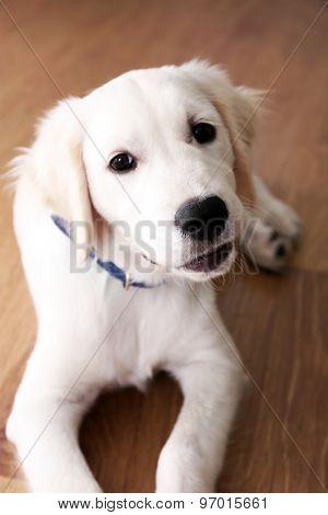 Portrait of Labrador puppy lying on wooden floor indoors