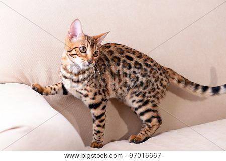 Beautiful Bengal kitten on sofa in room