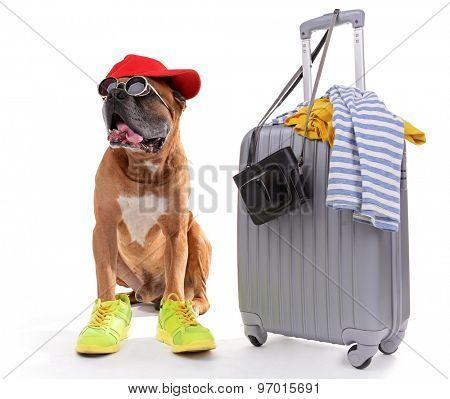 Beautiful Boxer Dog with suitcase isolated on white