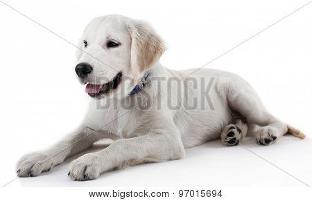 Cute Labrador retriever dog isolated on white