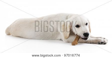 Labrador dog chewing bone isolated on white