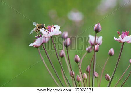 Honey bee on Pink wild grass rush in nature