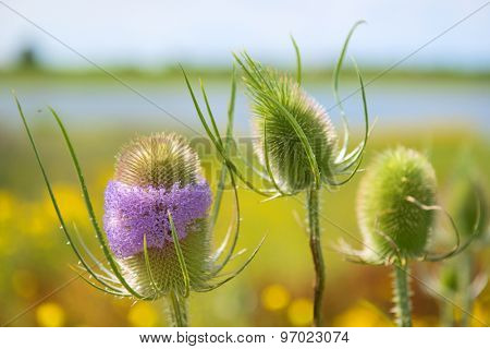 Blooming purple teasel in landscape at river