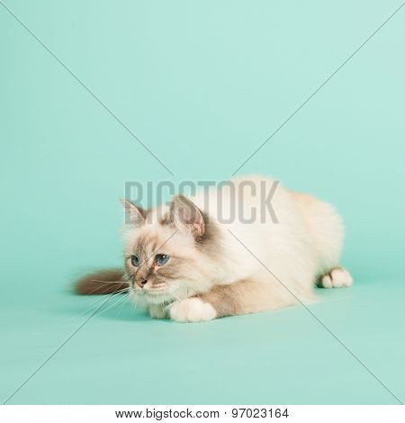 Portrait Birman cat on green background