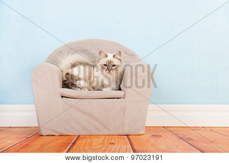 Portrait Birman cat in little chair