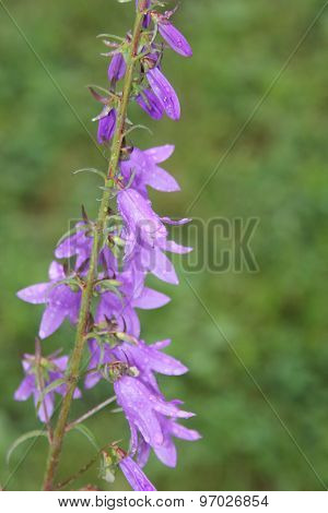 Bellflower, Creeping(Campanula rapunculoides)