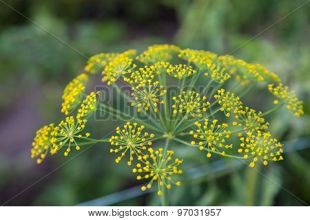 Flowering Dill (fennel) Herbs