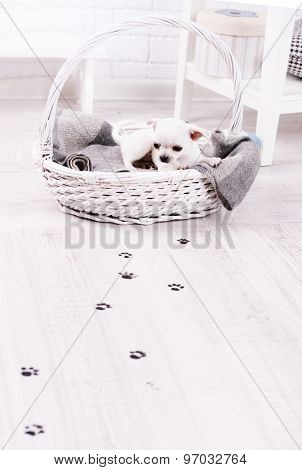Adorable chihuahua dog in basket and muddy paw prints on wooden floor in room