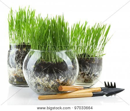 Green grass in transparent pots and gardening tools, isolated on white