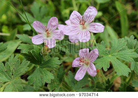 Pink Wildflower, Richardson's Geranium, Geranium Richardsonii,
