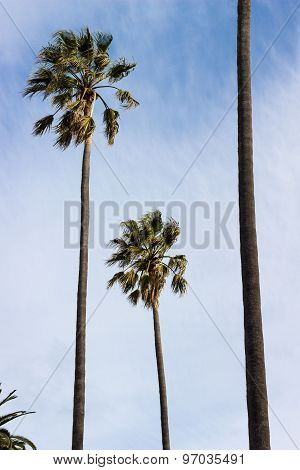 Wind Blown Palm Trees