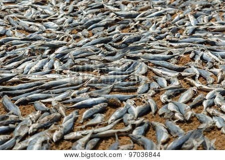 Fish drying the the sun