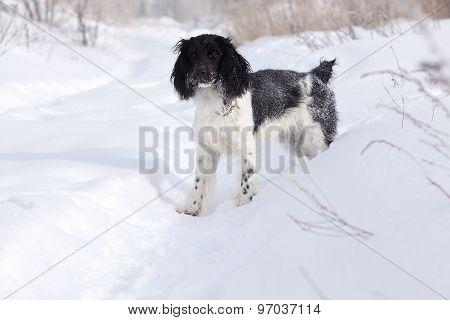 Hunting dog walk