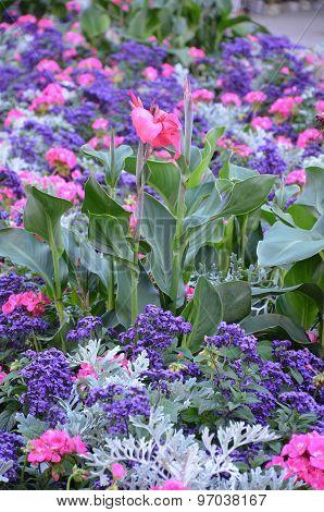 Pink Calla Lily Flower Garden