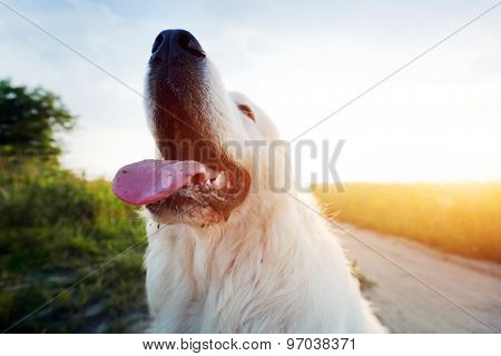 Funny dog on the field. Polish Tatra Sheepdog also known as Podhalan or Owczarek Podhalanski. Young adult