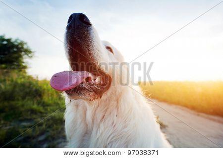 Funny dog on the field. Polish Tatra Sheepdog also known as Podhalan or Owczarek Podhalanski. Young adult