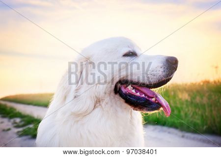 Dog on the field. Polish Tatra Sheepdog also known as Podhalan or Owczarek Podhalanski. Young adult