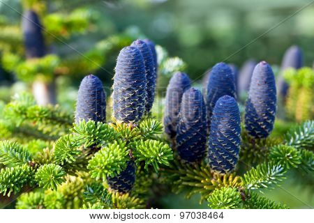 Caucasian fir tree cones close-up. Called also Abies nordmanniana or the Nordmann fir