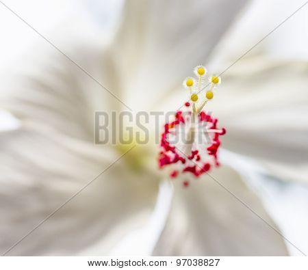 White Hibiscus Macro