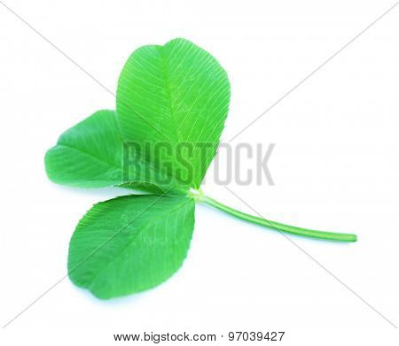 Clover leaves isolated on white
