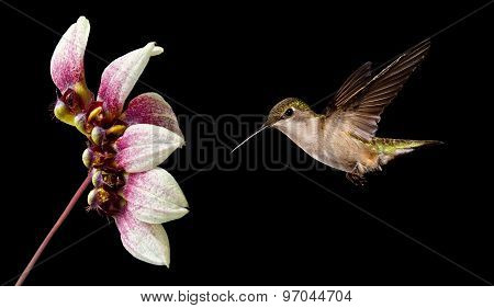 Hummingbird Flying Over Black Background