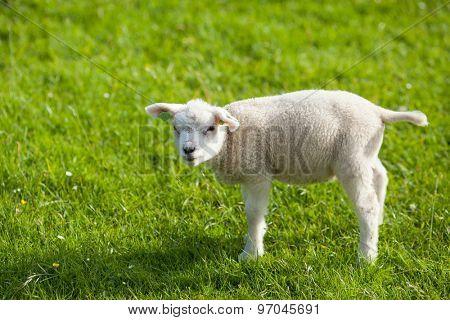 farm lamb on green grass background