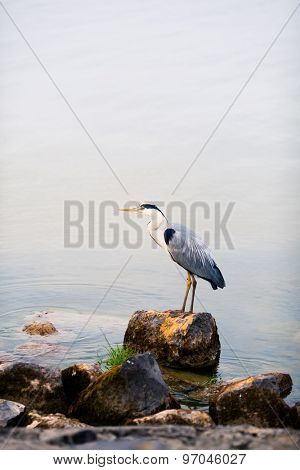 heron bird on a stone against water background