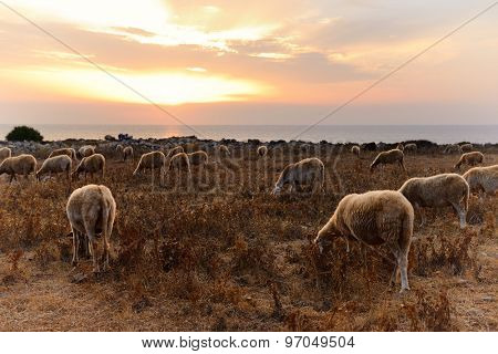 flock sheep and goats pasture over sunset