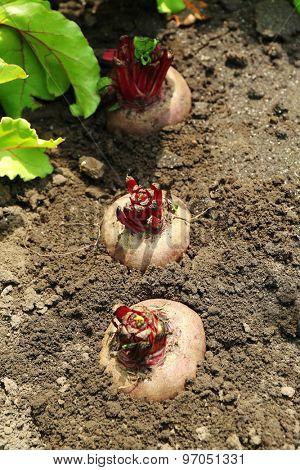 Fresh new beet growing in garden